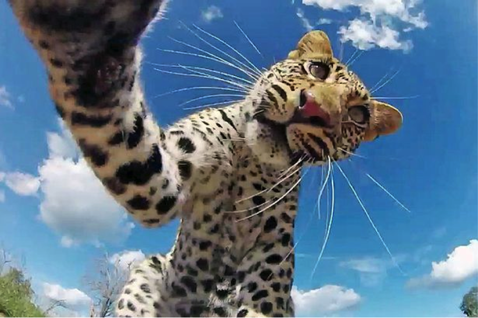 Leopardsie
