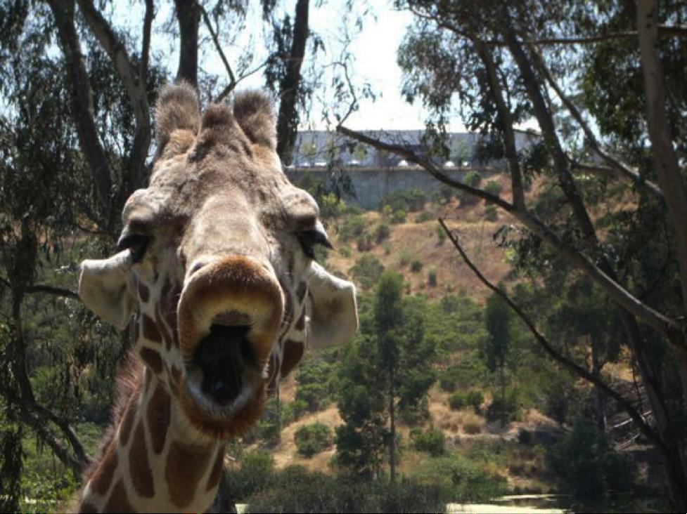 giraffsie