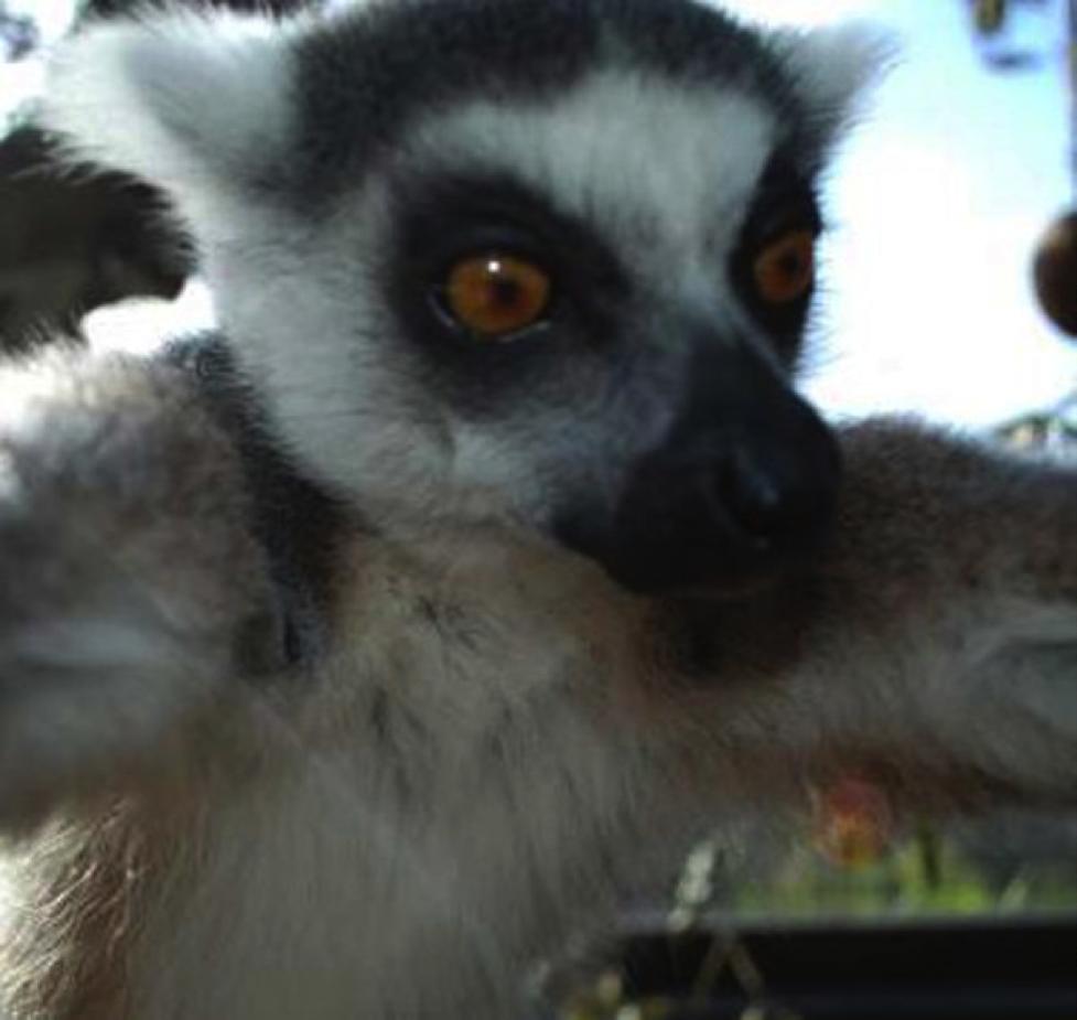 lemursie